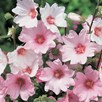 Lavatera Plant - Barnsley Pale