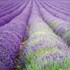 Lavender Hidcote Blue (16)
