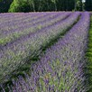 Lavender Plants - Phenomenal