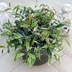 Leucothoe fontanesiana 'Whitewater'