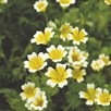 Poached Egg Plant Seeds