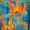 Lotus Fire Vine (6)