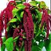 Love-Lies-Bleeding Seeds - Crimson Tassels