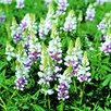 Lupin Seeds - Pink Fairy