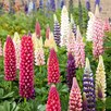 Lupin Seeds - Russell Mix