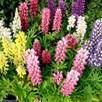 Lupin Plants - Mini Gallery Mix