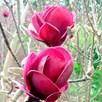 Magnolia Plant - 'Genie' NOBLE®