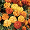 Marigold Afro-French - F1 Zenith Mix