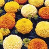 Marigold Plants - Marvel Mixed