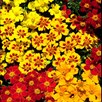 Marigold French Seeds - Fantasia Mix