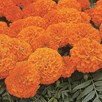 Marigold African Seeds - Space Hopper