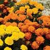 Marigold French Seeds - Boy-O-Boy Mix