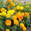 Marigold African Seeds - Crackerjack Mix
