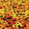 Marigold Plants - Durango Mixed