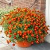 Marigold Plant - Firebird