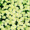 Matricaria Seeds - Snow Puffs