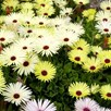 Livingstone Daisy Seeds - Yellow Sunshine