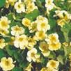 Nasturtium Seeds - Milkmaid