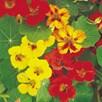Nasturtium Seeds - Collection