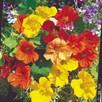 Nasturtium Seeds - Tropical Mix