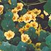 Nasturtium Seeds - Peach Melba