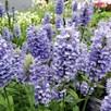 Nepeta Plants - Blue Moon