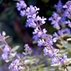 Nepeta Plant - Purrsian Blue 2Ltr