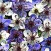 Love-in-a-Mist Seeds - Ebony & Ivory