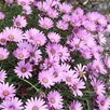 Hardy Osteospermum Plants - jucundum compactum, Tresco Purple, Snow Pixie