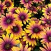 Osteospermum Purple Sun (3)
