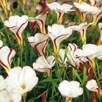 Oxalis Bulbs - Collection