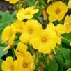 Oxalis Valdiviensis Seeds