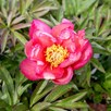 Paeonia ITOH 'Julia Rose'