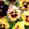 Pansy Plants - Fizzy Lemonberry