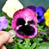 Pansy Plants - Select Mix
