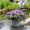Pansy Plants - Cool Wave Morpho