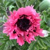 Papaver Plant - Pink Perfection