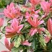 Photinia  Pink Crispy 2Ltr