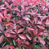 Photinia Red Robin (Red Laurel) Plant