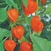 Chinese Lantern Seeds