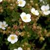 Potentilla fruticosa Plant - White Lady®