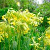 Primula Veris and Vulgaris (12)