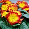 Primrose Plants - Rambo Red Flame