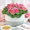 Primula Sweetie (6) P9