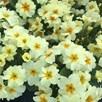 Primula Plants - Everlast