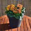Primula Plants - Scented Sunbursts