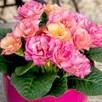 Primula Plants - Amore