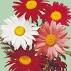 Pyrethrum Seeds - Large Flowered Hybrids