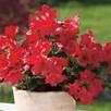 Rhododendron Plant - Scarlet Wonder
