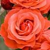Rose Plant - Fragrant Cloud
